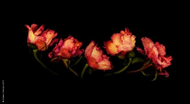 , 'Common Peony,' 2004, Lawrence Fine Art