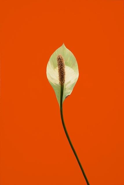 James Lahey, 'Peace Lily 151112-02', 2015, Galerie de Bellefeuille