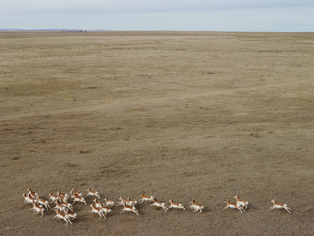 , 'Pronghorn Antelope, Niobara County, Wyoming,' 2013, Jackson Fine Art