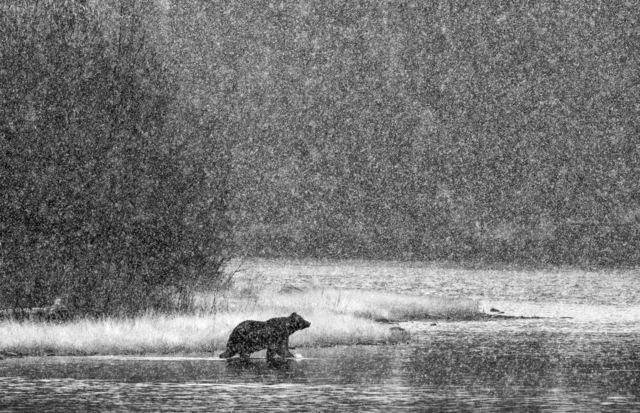 , 'Path of the Grizzly,' , Paul Nicklen Gallery