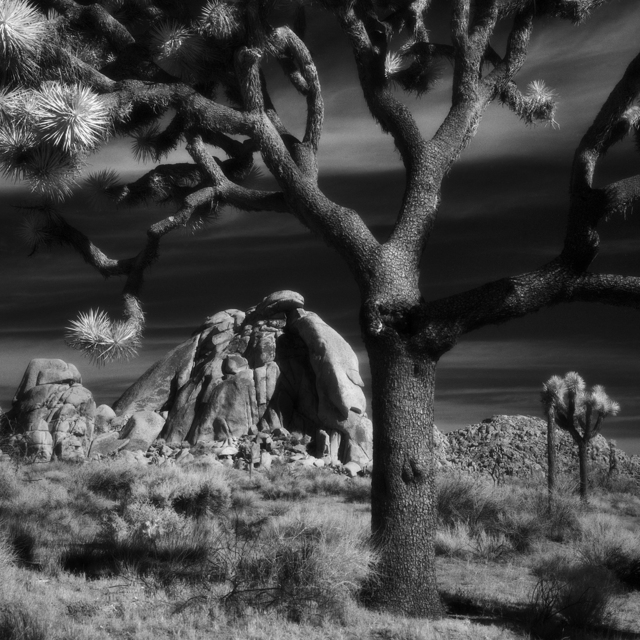 , 'Joshua Tree National Park, CA- Square,' , Modernist Frontier