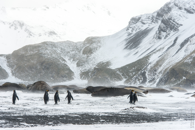 Leonard Sussman, 'King Pengins and Elephant Seals, Right Whale Bay, South Georgia Islands', 2018, Garvey   Simon