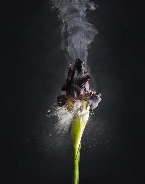 Ori Gersht, 'Iris atropurpurea D02', 2018, Photography, Archival pigment print, Talley Dunn Gallery