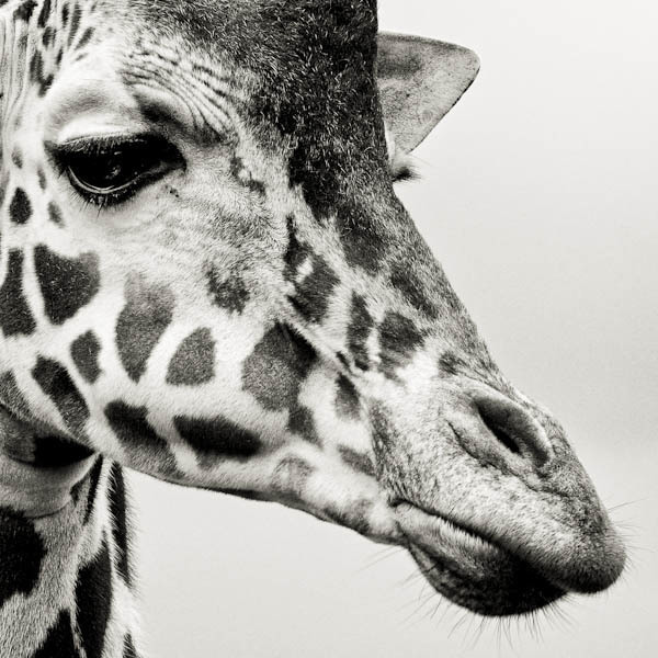 , 'Portrait of a Giraffe,' 2012, Weston Gallery