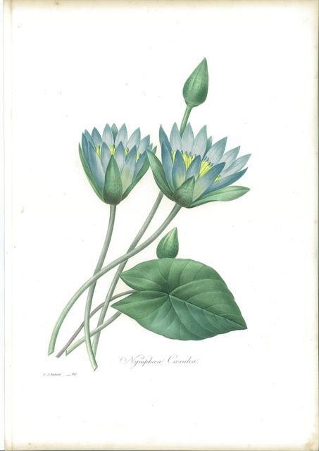 Pierre Joseph Redouté, 'Nymphæa Cærulea', 1827, Sylvan Cole Gallery