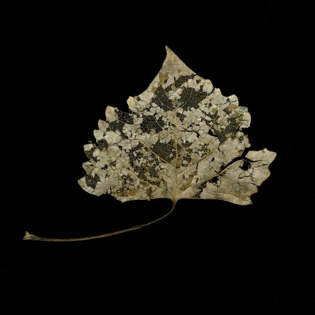 Meridel Rubenstein, 'Winter Cottonwood Filagree Leaf', 2010, Photography, Vegetable inks on Canson BFK Reeves watercolor paper, Brian Gross Fine Art