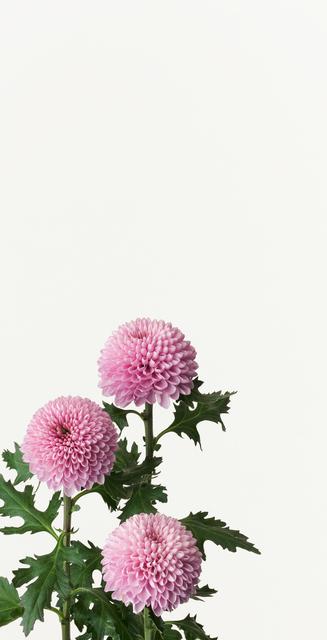 Takashi Tomo-oka, 'Kiku ( Chrysanthemum )', 2012, Ippodo Gallery