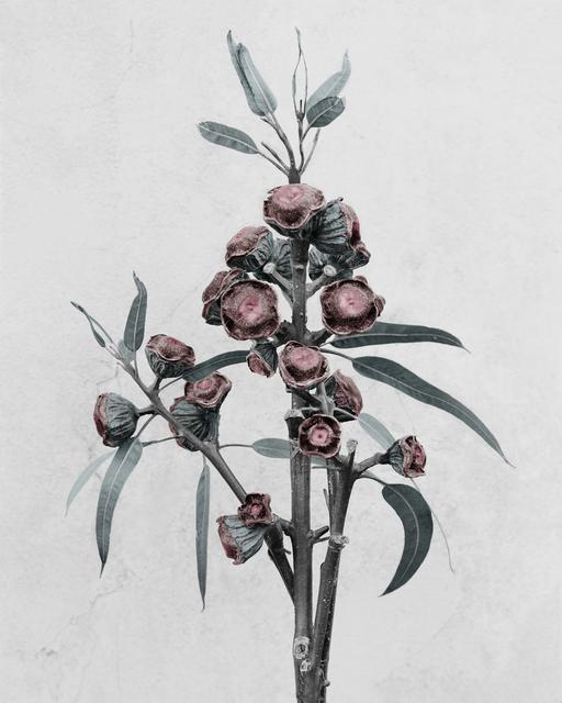 , 'Eucalyptus globulus,' 2016, The Photographers' Gallery