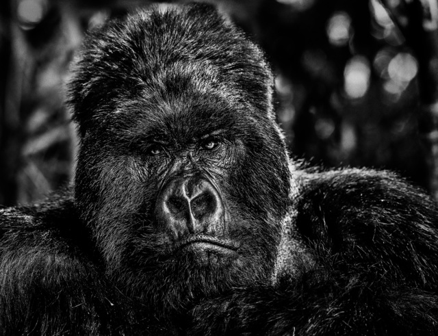 David Yarrow, 'The Governor', 2019, Photography, Archival Pigment Print, Maddox Gallery