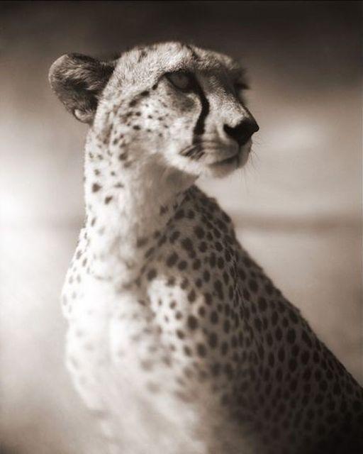 , 'Cheetah Against Dark Sky, Masai Mara,' 2004, Atlas Gallery