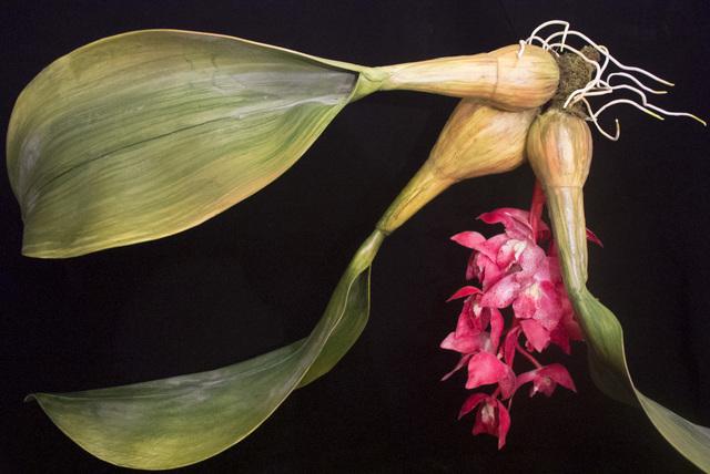 , 'END17 Bulbophyllum retrorsum,' 2015, Chan + Hori Contemporary