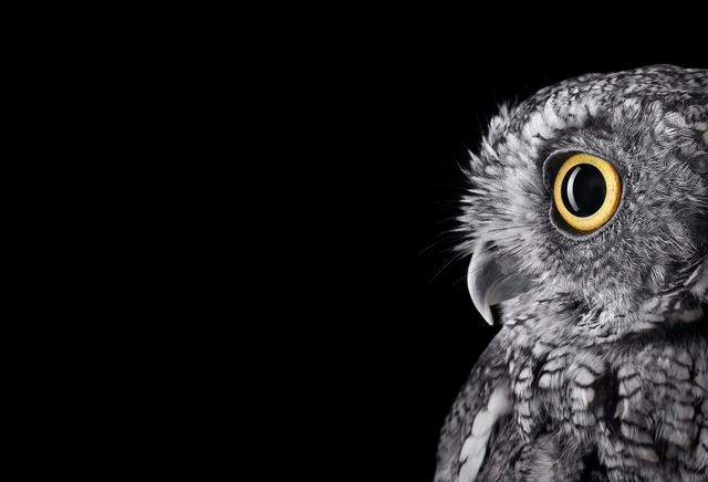 , 'Western  Screech Owl #2, Espanola, NM,' 2011, photo-eye Gallery