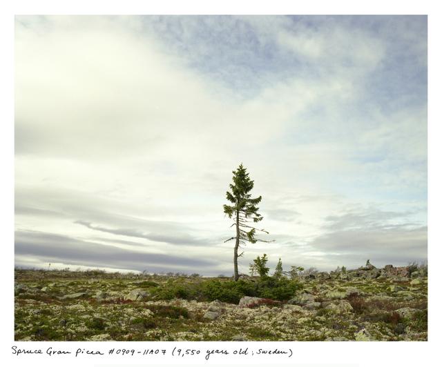 , 'Spruce Gran Picea #0909-11A07 (9,550 years old; Dalarna, Sweden) ,' 2009, Sapar Contemporary