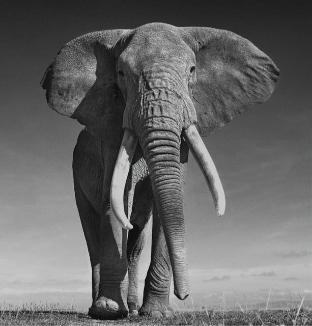 David Yarrow, 'The Don', ca. 2017, Photography, Archival Pigment Print, Samuel Lynne Galleries