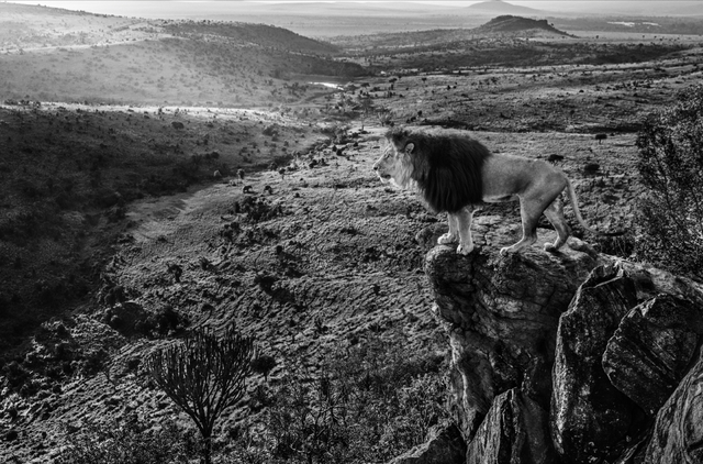 David Yarrow, 'King of Kings', 2019, Photography, Archival Pigment Print, Hilton Asmus