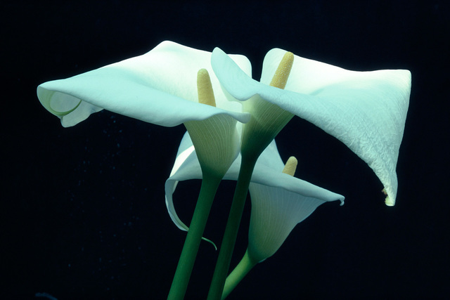 , 'Calla Lilly, Munich,' 1982, Atlas Gallery