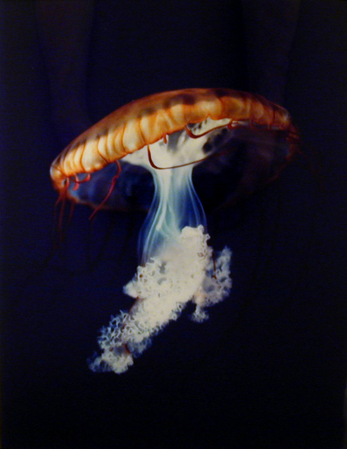 , 'Pacific Sea Nettle Chrysaora Melanaster Long Beach, California October 18, 1998,' 1998, David Zwirner
