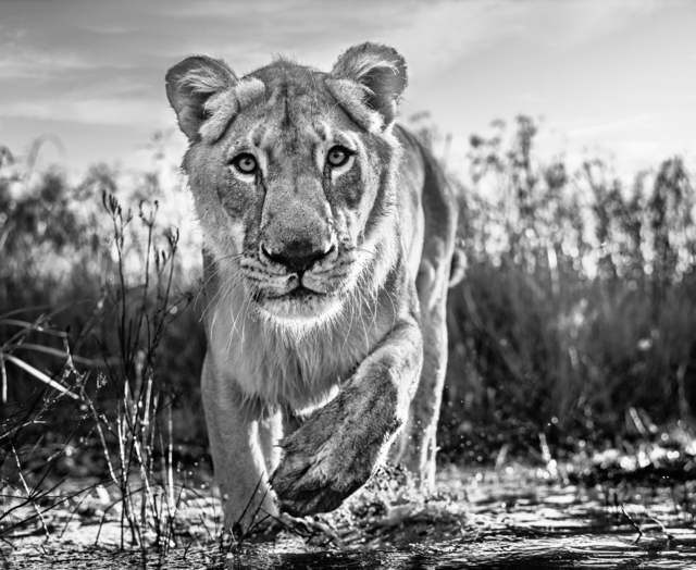 David Yarrow, 'Intent, South Africa', 2020, Photography, Archival Pigment Photograph, Holden Luntz Gallery