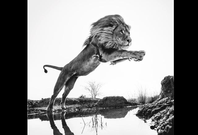 David Yarrow, 'Lion King', Galleri Fineart