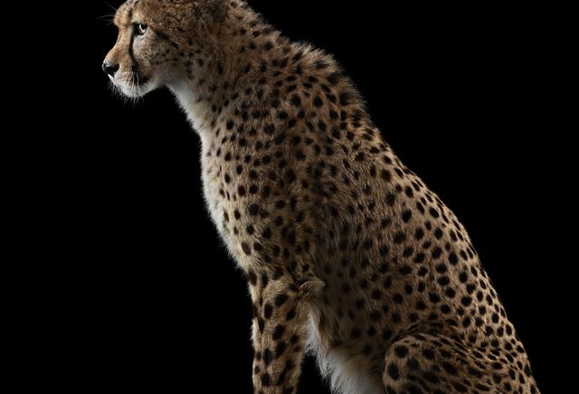 Brad Wilson, 'Cheetah #1, Los Angeles, CA ', 2011, photo-eye Gallery