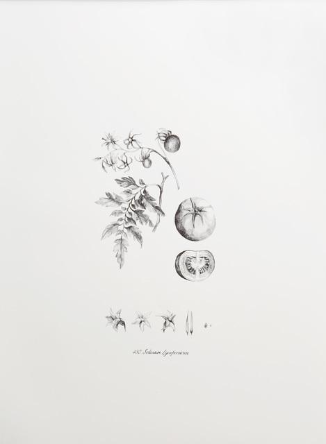 , 'Solanum lycopersicum,' 2016, Lucia Mendoza