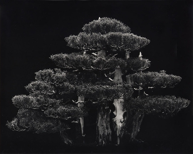 , 'Hollywood Juniper,' 2002, MIYAKO YOSHINAGA
