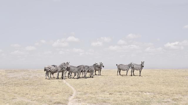 David Burdeny, 'Zebra Plains, Maasai Mara, Kenya', 2019, Galerie de Bellefeuille