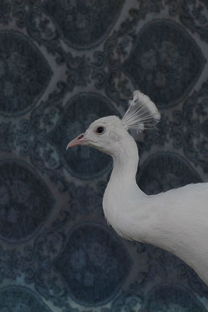 , 'White Peacock No. 9490,' 2018, Foto Relevance
