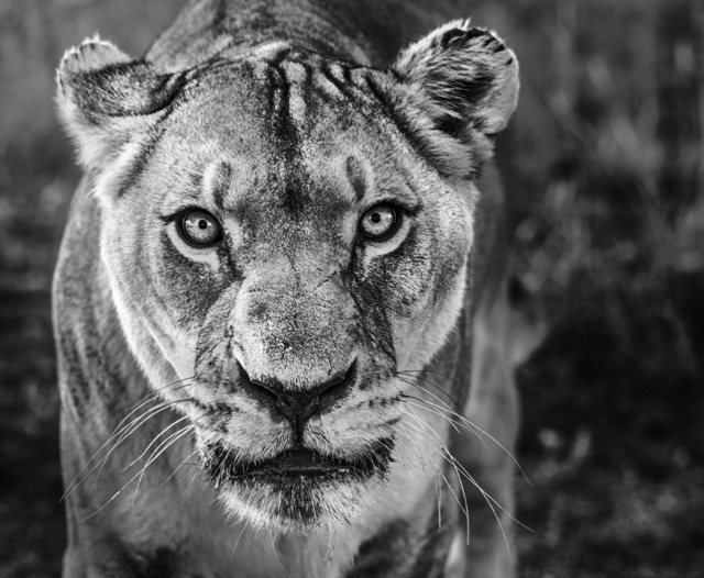 David Yarrow, 'Nala', 2019, Photography, Archival Pigment Photograph, Holden Luntz Gallery