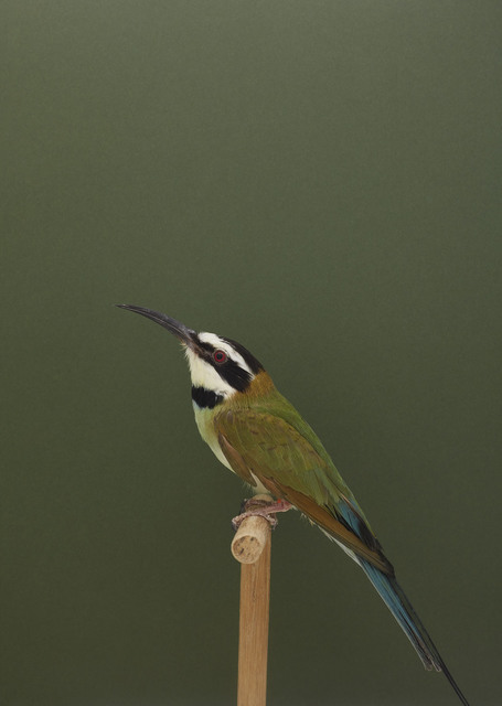 , 'White Throated Bee Eater #1,' ca. 2016, The Photographers' Gallery
