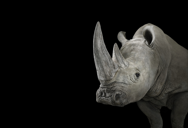 Brad Wilson, 'White Rhinoceros #1, Albuquerque, NM', 2013, photo-eye Gallery