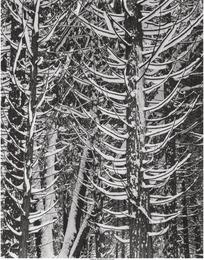 Winter, Forest Detail, Yosemite Valley