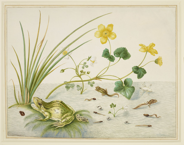 , 'Marsh Marigold with the life stages of a frog,' 1705-1710, Royal Collection Trust