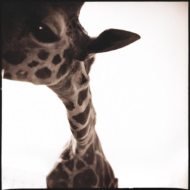 Nine Francois, 'Giraffe I', Weston Gallery