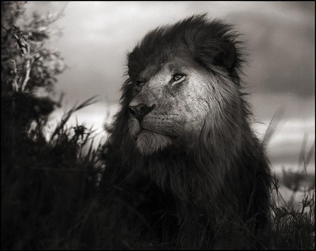 , 'Lion in Shaft of Light, Maasai Mara,' 2012, Edwynn Houk Gallery