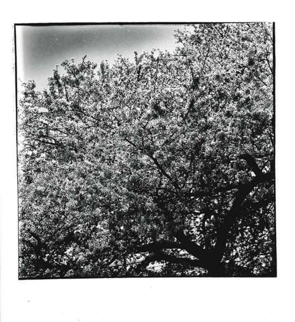Daido Moriyama, 'Cherry Blossoms', 1987, CHRISTOPHE GUYE GALERIE