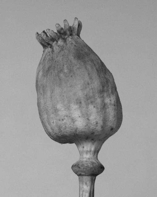, 'Poppy head I,' 2017, The Ravestijn Gallery
