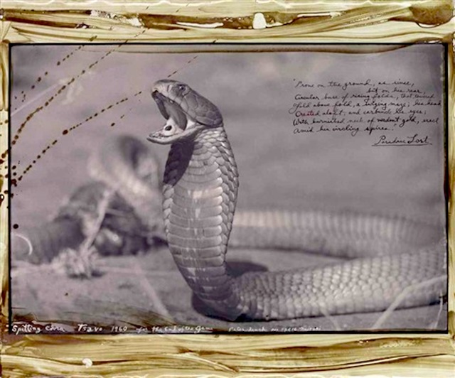 Peter Beard, 'Spitting Cobra, Tsavo', 1960, Michael Hoppen Gallery
