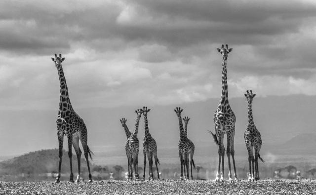 David Yarrow, 'Giraffe City ', ca. 2016, Isabella Garrucho Fine Art