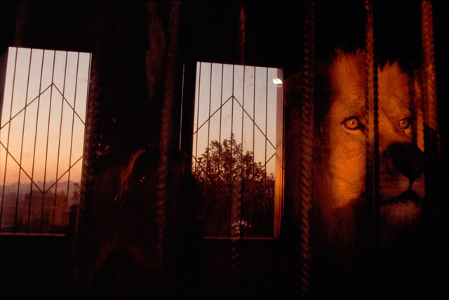 , 'Lion, Istanbul, Turkey (from the series The Glass Between Us),' 2003, Robert Klein Gallery