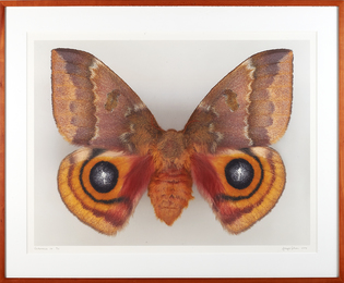 Dr. Joseph Scheer Moth Photograph, Automeris Io (Female)